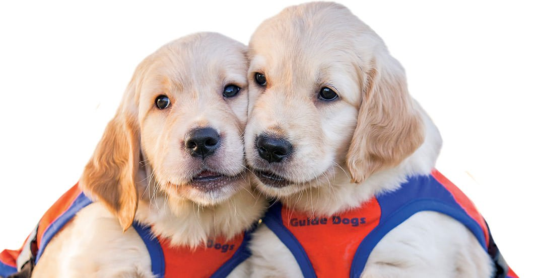 Guide Dogs QLD puppies